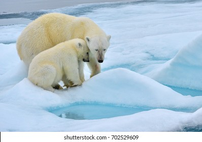 polar bear sow and cub nuzzle on ice floe in norwegian arctic waters