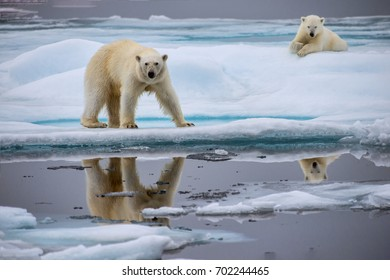 polar bear sow and cub on ice floe in norwegian arctic waters