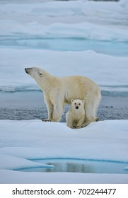polar bear sow and cub pose on ice floe in norwegian arctic waters