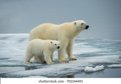 polar bear sow and cub pose together on ice floe in norwegian arctic waters