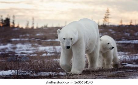 Polar bear sow and cub walk along the dirt road in Churchill, Manitoba, Canada at dusk.