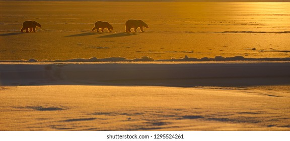 Polar Bear sow and cubs in silhouette with golden sunset on Kaktovik Lagoon Barter Island Alaska