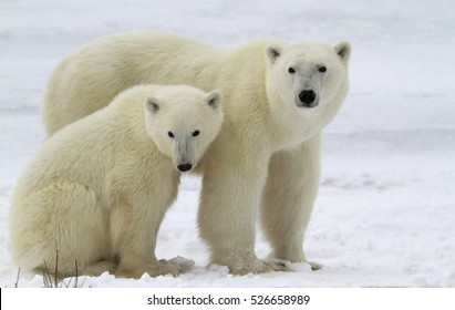 Polar bear sow with her cub on the frozen tundra.  Churchill, Manitoba, Canada