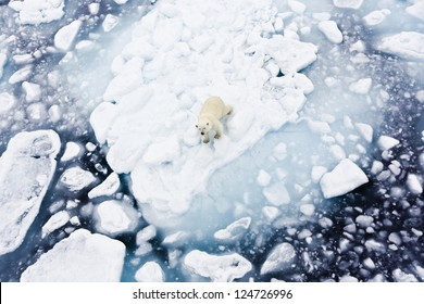Polar bear, Spitsbergen