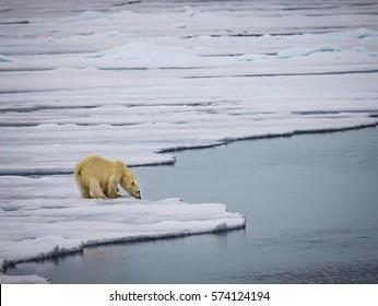 Polar bear in Spitzbergen drinks fresh water from melting ice