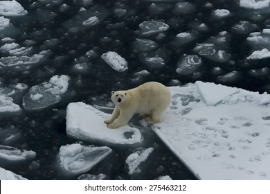 Polar bear standing between two ice floes. Close view. Spitsbergen.