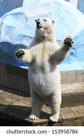 Polar bear standing on its hind legs (dancing).