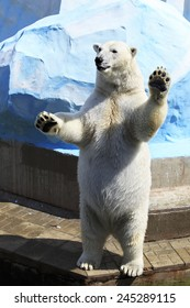 Polar bear standing on its hind legs (swears before the law).