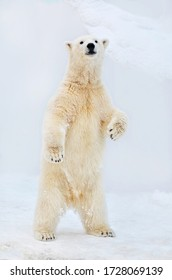 Polar bear stands on its hind legs. - Shutterstock ID 1728069139