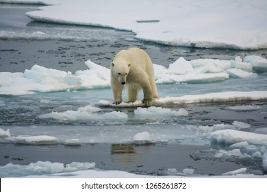 A polar bear stands on an ice floe and looks into the water. Arctic Ocean. Svalbard