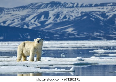 polar bear stands on ice surrounded by water in the arctic with tundra in background
