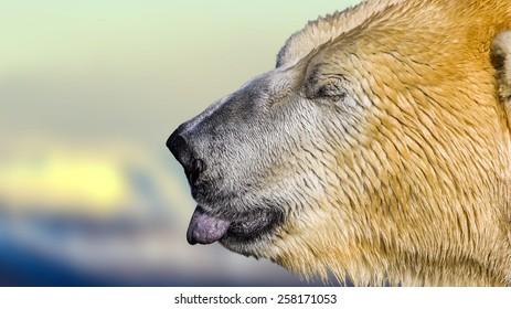 Polar bear sticking its tongue out licking