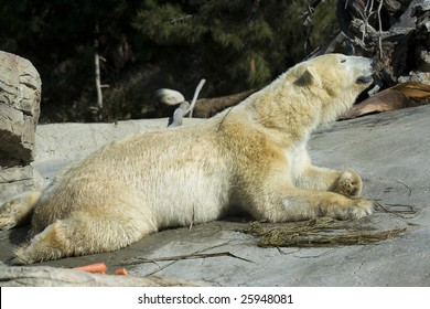 Polar Bear Stretching While Laying Down