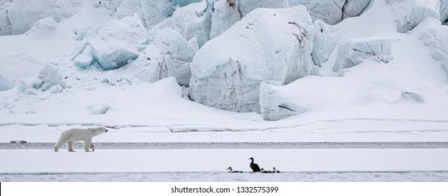 A Polar Bear strolls nonchalantly along sea ice beneath a vast glacier in Svalbard.