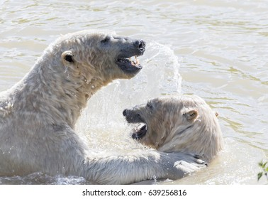 Polar bear in the summer