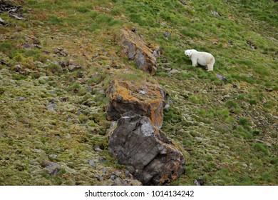 Polar bear in summer Arctic - climate change - Franz Josef Land