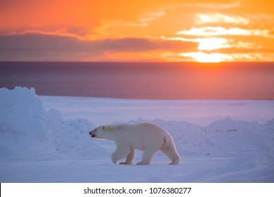 Polar Bear in Sunset