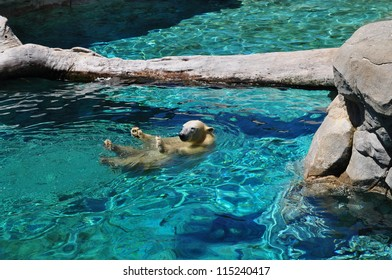 Polar bear swimming in blue water (Ursus maritimus).