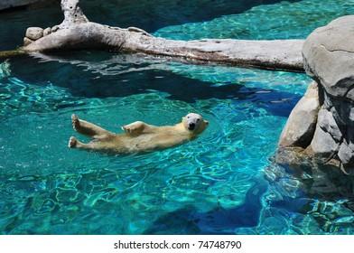 Polar bear swimming in blue water (Ursus maritimus)