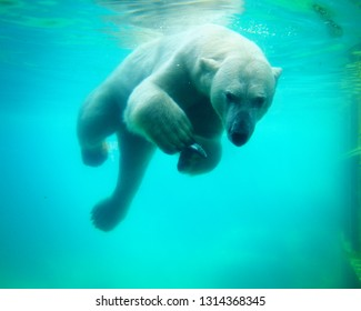 a polar bear is swimming under blue water towards the viewer and is holding a fish between its claws