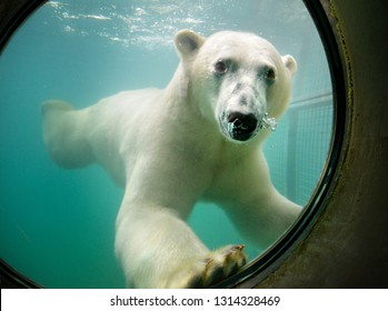 A polar bear is swimming under water and looking through a round window