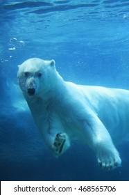 Polar bear swimming underwater