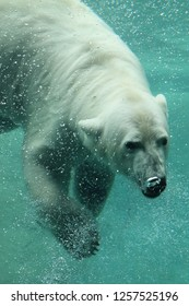 Polar Bear swimming underwater in zoo