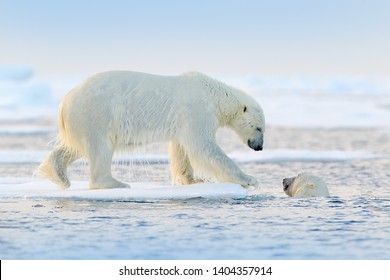 Polar bear swimming in water. Two bears playing on drifting ice with snow. White animals in the nature habitat, Russia. Animals playing in snow, Arctic wildlife. Funny nature image.