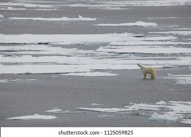 A polar bear swims and plays between ice floes in the Arctic waters