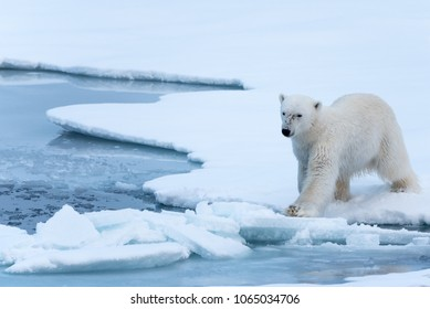 Polar Bear tentatively stepping onto thin broken ice