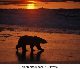 Polar Bear (Thalarctos maritimus) . Cape Churchill. Hudson Bay sunset. Manitoba