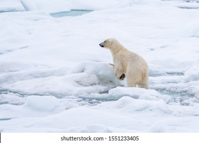 Polar bear traveling over sea ice off the coast of Svalbard, Norway.