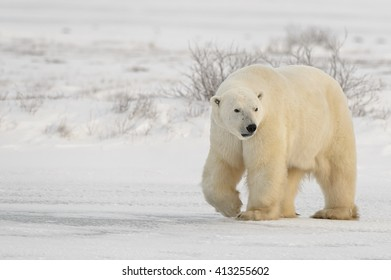 Polar Bear (Ursus maritimes) - Bear Faced