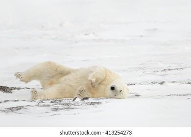 Polar Bear  (Ursus maritimes) - Rolling Bear