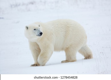 Polar Bear (Ursus maritimus) in Churchill Wildlife Management Area, Churchill, Manitoba, Canada