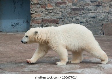 Polar bear (Ursus Maritimus) cub walks