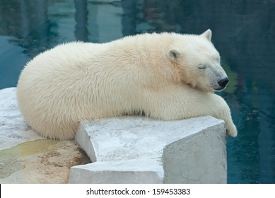 Polar bear (Ursus Maritimus) cub sleeps