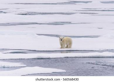 Polar bear (Ursus maritimus) cub on the pack ice, north of Svalbard Arctic Norway