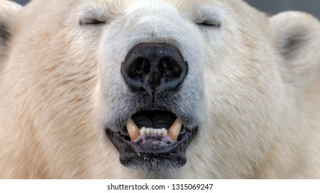 polar bear (Ursus maritimus) face with closed eyes, looking pleasurably relaxed