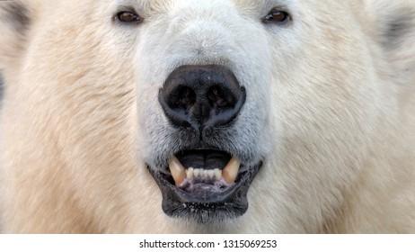 polar bear (Ursus maritimus) face staring intensely into the camera