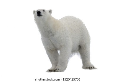 Polar bear (Ursus maritimus) isolated on white background