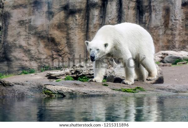 polar-bear-ursus-maritimus-known-600w-12
