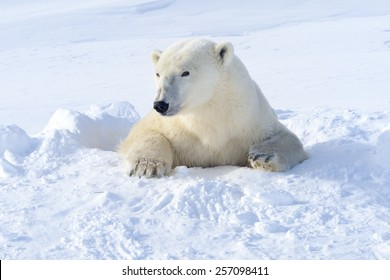 Polar bear (Ursus maritimus) mother coming out freshly opened den, Wapusk national park, Canada.