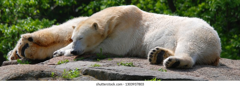 The polar bear (Ursus maritimus) is a bear native largely within the Arctic Circle encompassing the Arctic Ocean, its surrounding seas and surrounding land masses.