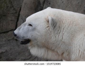Imágenes, fotos de stock y vectores sobre The+skin+of+a+bear
