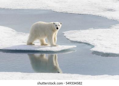 Polar bear (Ursus maritimus) on the pack  ice north of Spitsbergen Island, Svalbard, Norway, Scandinavia, Europe