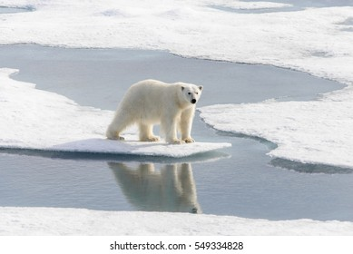 Polar bear (Ursus maritimus) on the pack  ice north of Spitsbergen Island, Svalbard, Norway, Scandinavia, Europe