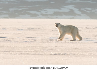 Polar Bear (Ursus maritimus) - Pause in The Light