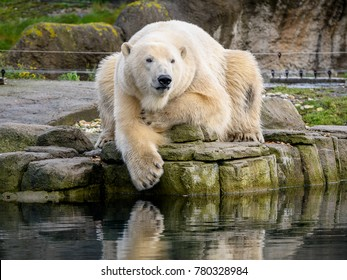 Polar bear (Ursus maritimus) resting on a rock in zoo Blijdorp, the Netherlands