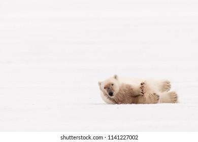 Polar Bear (Ursus maritimus) - Stretched Paws